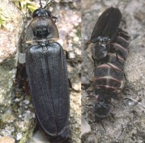 Male glow-worm / glow-worms mating